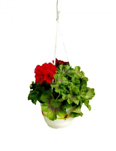 Geranio (vaso basket) Ø Vaso 19 cm Outdoor flowering plants