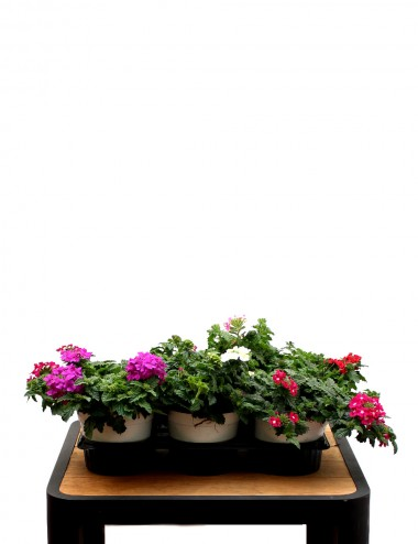Mix 6 Piante Verbena Ø Vaso 14 cm Outdoor flowering plants Shop