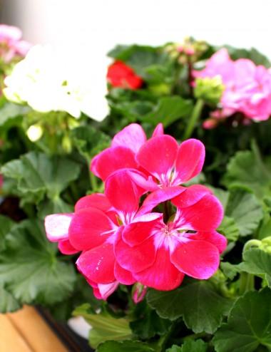 Mix 6 Piante Geranio Zonale Ø Vaso 14 cm Outdoor flowering