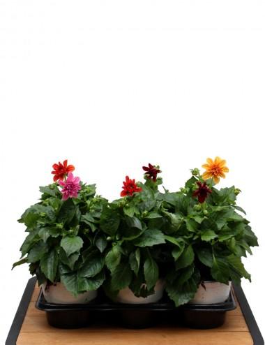 Mix 6 Piante Dalia Ø Vaso 14 cm Outdoor flowering plants Shop