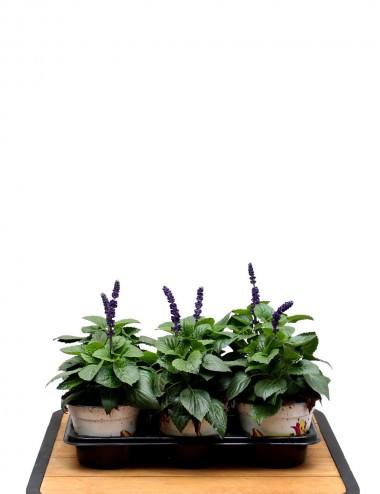Mix 6 Piante Salvia Farinacea Ø Vaso 14 cm Outdoor flowering