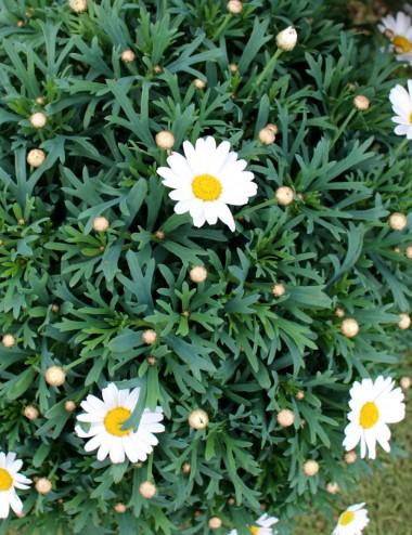 Margherita Cespuglio Bianca 6 Vaso 19 cm Shrubs Shop Online