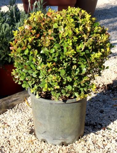 Bosso rotundifolia palla Vaso 50 Sträucher Shop Online