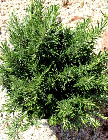 Rosmarino Prostrato Ø Vaso 19 cm Aromatic plants Shop Online