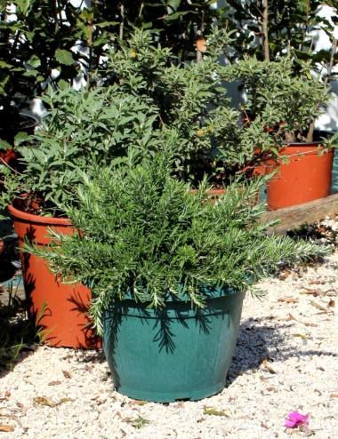 Rosmarino Prostrato Ø Vaso 25 cm Aromatic plants Shop Online