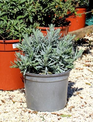 Lavanda Angustifolia Ø Vaso 19 cm Aromatic plants Shop Online