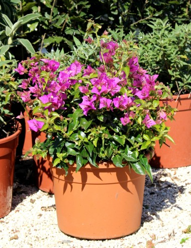 Bouganvillea Cespuglio Ø Vaso 24 cm Climbing plants Shop Online