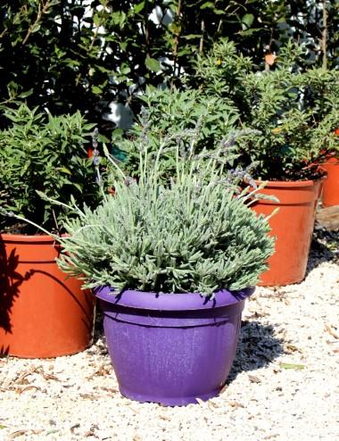 Lavanda Goodwin Creek Ø Vaso 25 cm Aromatic plants Shop Online