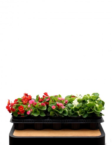 Mix 15 Piante Begonia Ø Vaso 10 cm Outdoor flowering plants