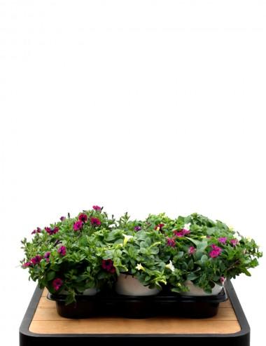 Mix 6 Piante Calibrachoa Ø Vaso 14 cm Outdoor flowering plants