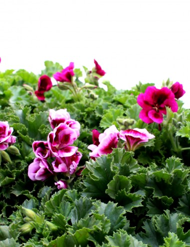 Mix 6 Piante Geranio Macranta Ø Vaso 14 cm Outdoor flowering
