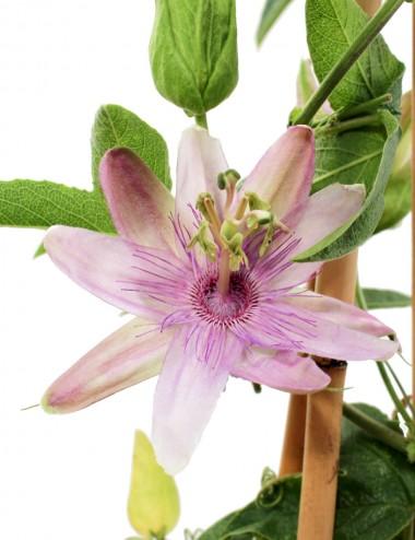 Passiflora Ø Vaso 16 cm Climbing plants Shop Online