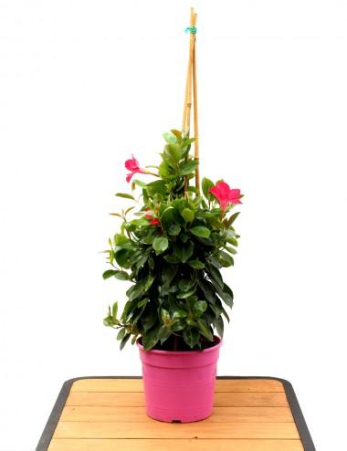 Sundevilla Ø Vaso 17 cm Climbing plants Shop Online