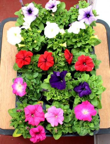 Mix 15 Piante Petunia Ø Vaso 10 cm Outdoor flowering plants