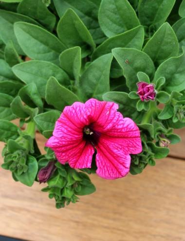 Surfinia Rosa Ø Basket 19 cm Outdoor flowering plants Shop