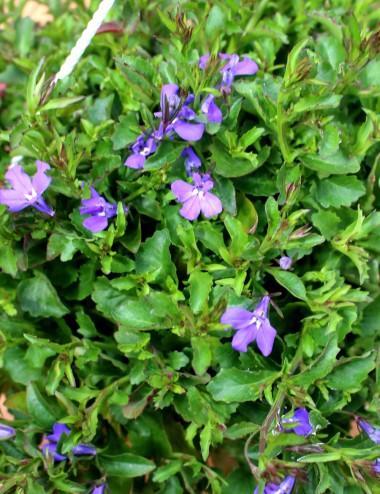 Lobelia Ø Basket 19 cm Outdoor flowering plants Shop Online
