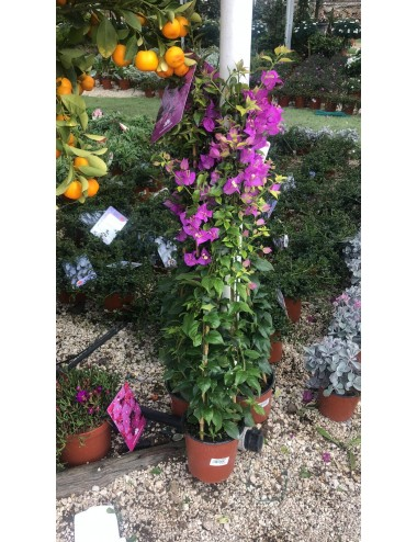 Boungavillea Sanderiana Ø Vaso 24 cm Climbing plants Shop Online