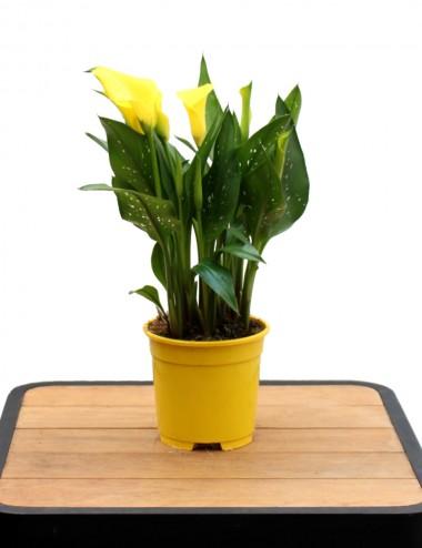 Calla Gialla Ø Vaso 15 cm Shrubs Shop Online