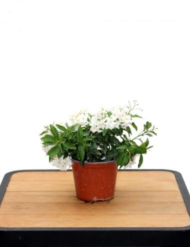 Solanum Jasminoides Ø Vaso 14 cm Climbing plants Shop Online