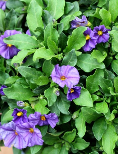 Solanum Rantonetti Violetta...