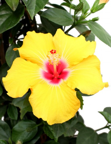 Hibiscus Rosa Sinensis...
