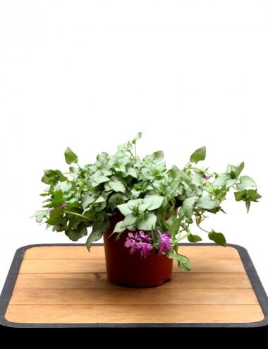 Lamium Maculatum Ø Vaso 16 cm
