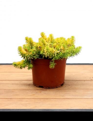 Sedum Ø Vaso 15 cm