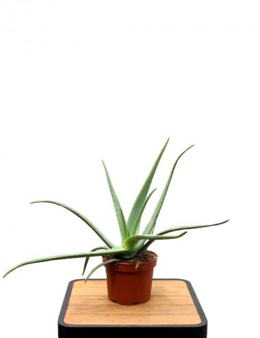 Aloe Vera Ø Vaso 22 cm