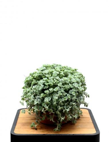 Origano Dictamo Ø Vaso 24 cm