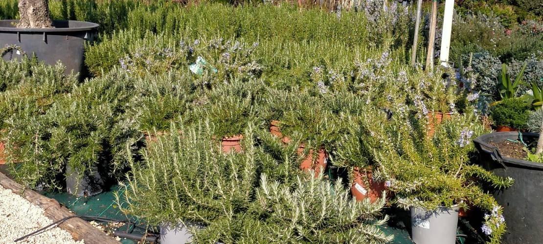 Aromatic plants